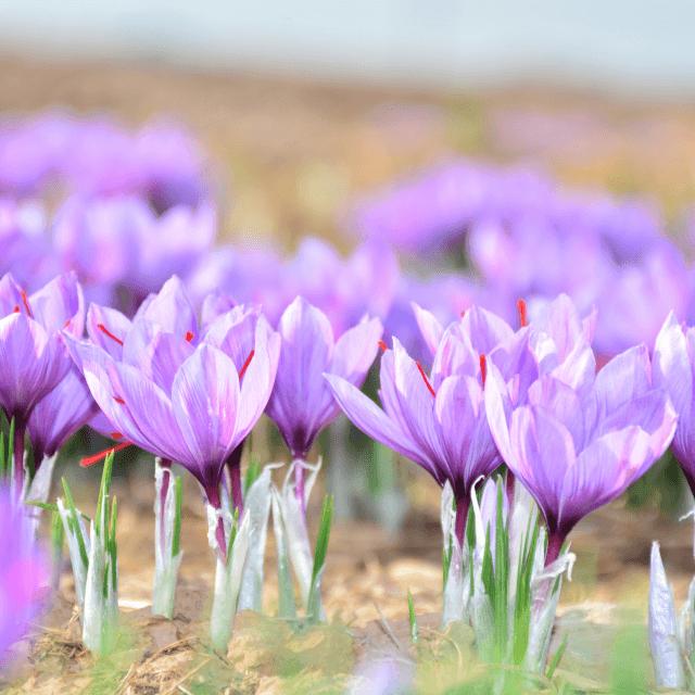 گراند زعفران  640x640 - Saffron