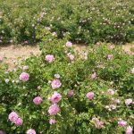 Rose Farm Crop