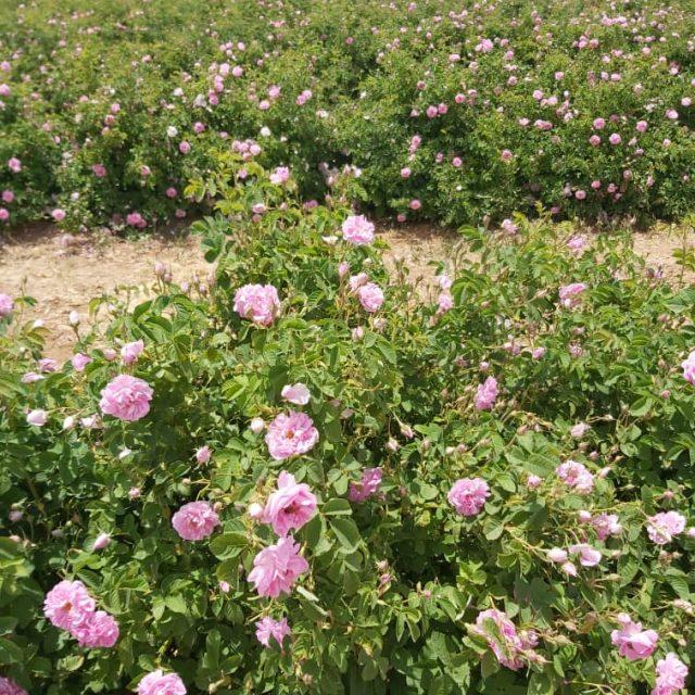17 640x640 - Rose