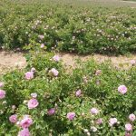 Rose Farm Crop