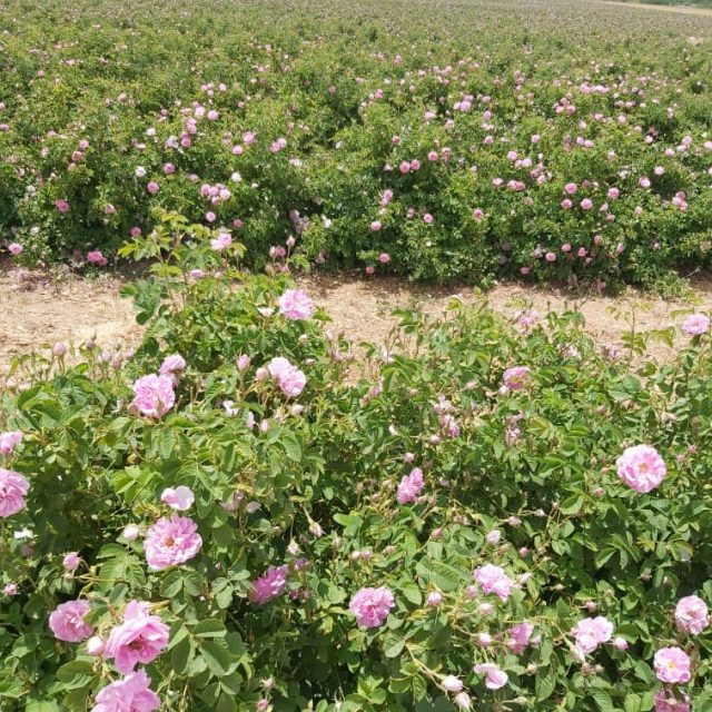 18 1 640x640 - Rose
