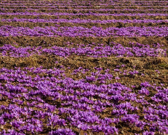 2261268 640x515 - Saffron