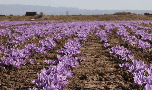 Saffronn 640x382 - Saffron