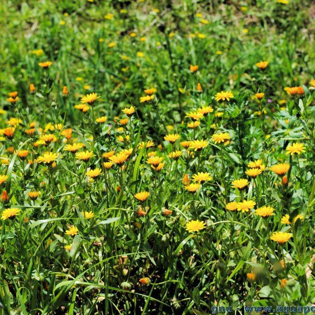 marigold9 640x640 - Marigold