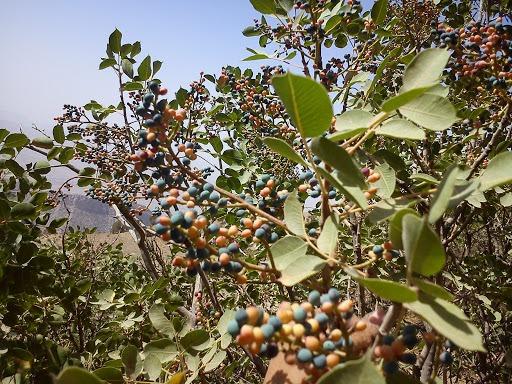 pistacia 4 - Pistacia Terebinthus ( Mount Atlas Pistache )