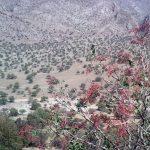 Pistacia Terebinthus ( Mount Atlas Pistache )