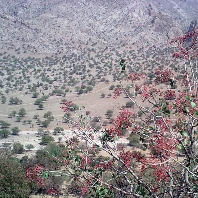 pistacia5 640x640 - Pistacia Terebinthus ( Mount Atlas Pistache )