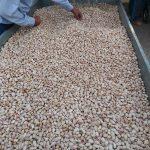Pistachio Harvest