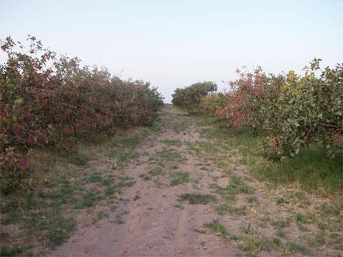 pistachios - Our Farm
